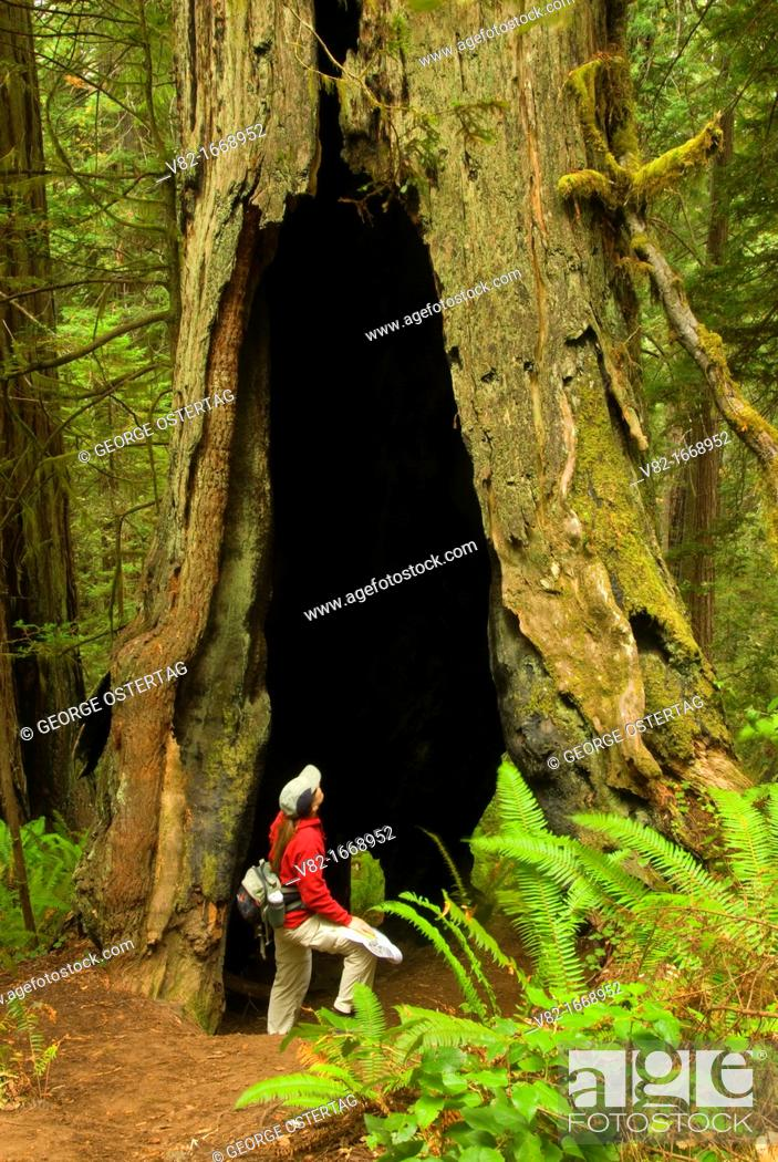 Stock Photo: Coast redwood at Lady Bird Johnson Grove, Redwood National Park, California.