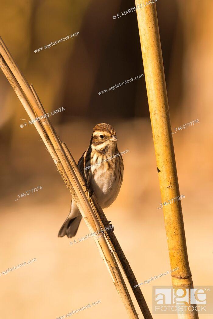 Stock Photo: reed bunting (Emberiza schoeniclus). Photographed in Toledo.