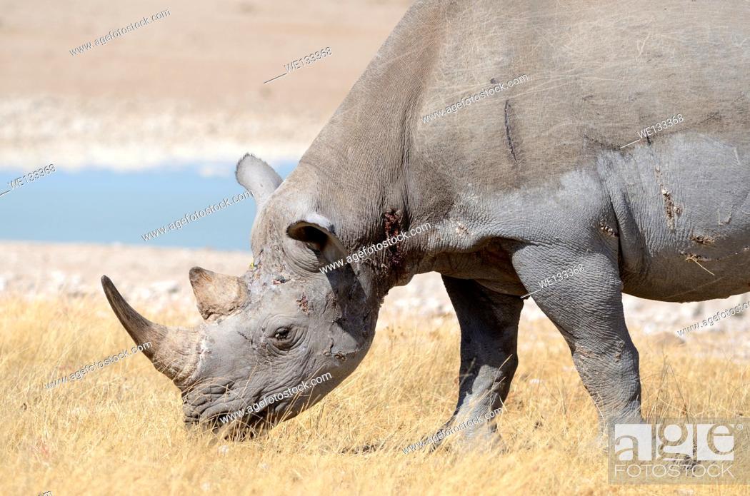 Stock Photo: Black Rhinoceros (Diceros bicornis), adult male grazing at waterhole, Etosha National Park, Namibia, Africa.