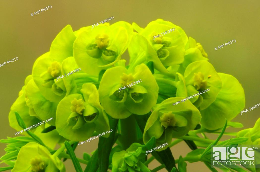 Stock Photo: Cypress Spurge Euphorbia cyparissias - North Brabant, The Netherlands, Holland, Europe.