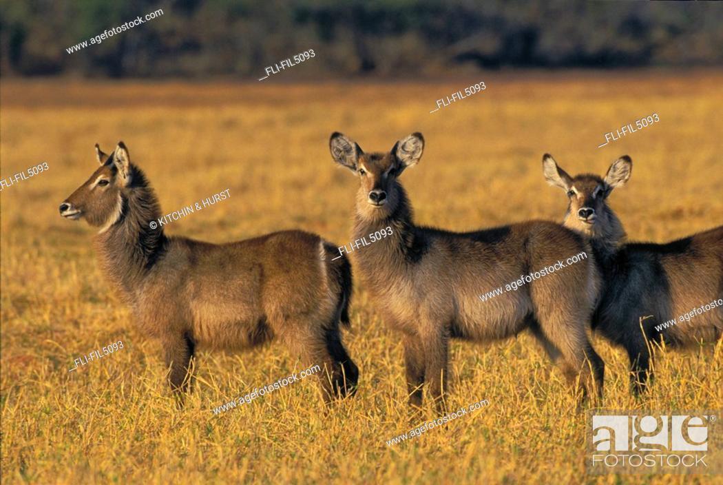 Stock Photo: Female Waterbuck, Matusadona National Park, Zimbabwe.