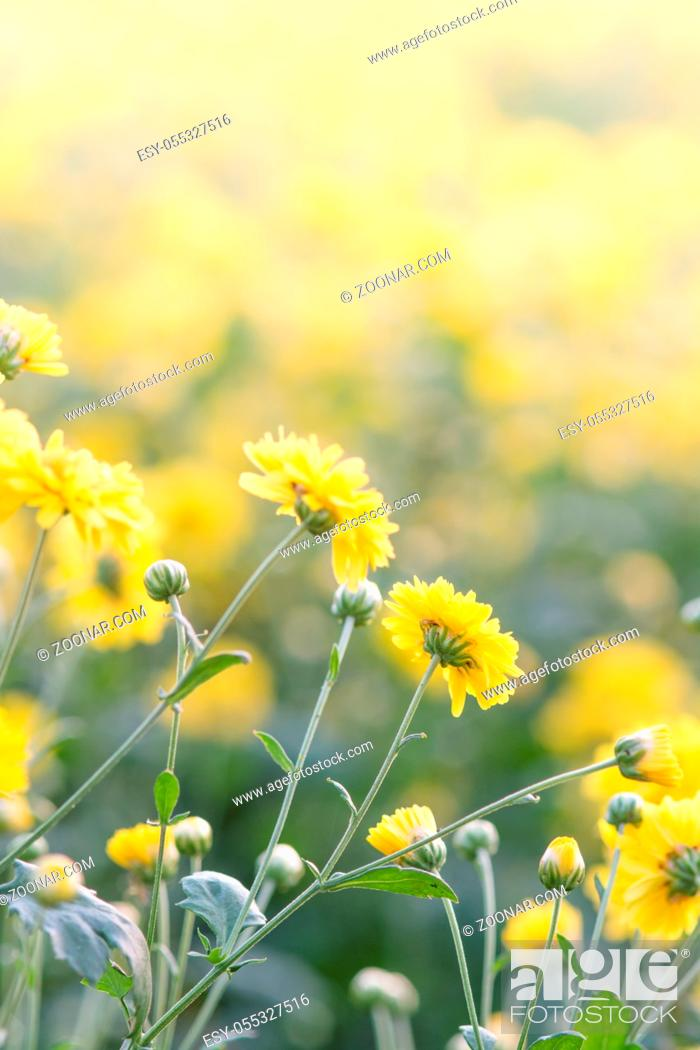Stock Photo: Yellow chrysanthemum flowers, chrysanthemum in the garden. Blurry flower for background, colorful plants.
