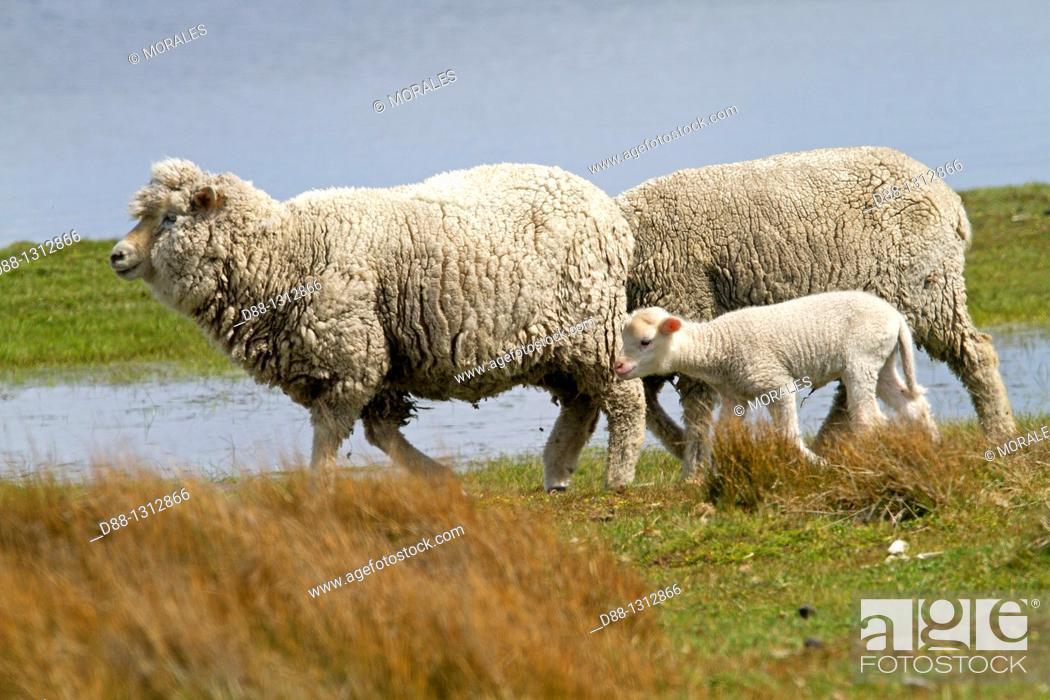 Stock Photo: Falkland Islands , Pebble island , Domestic Sheep.