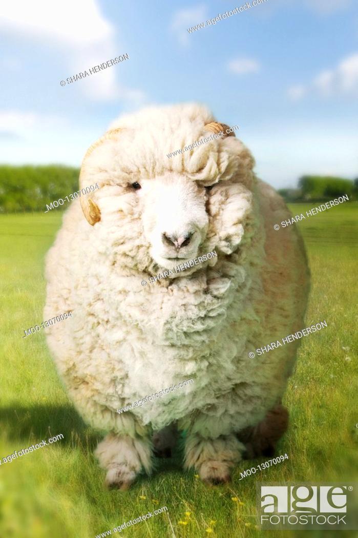 Stock Photo: Ram in green field digital composite.
