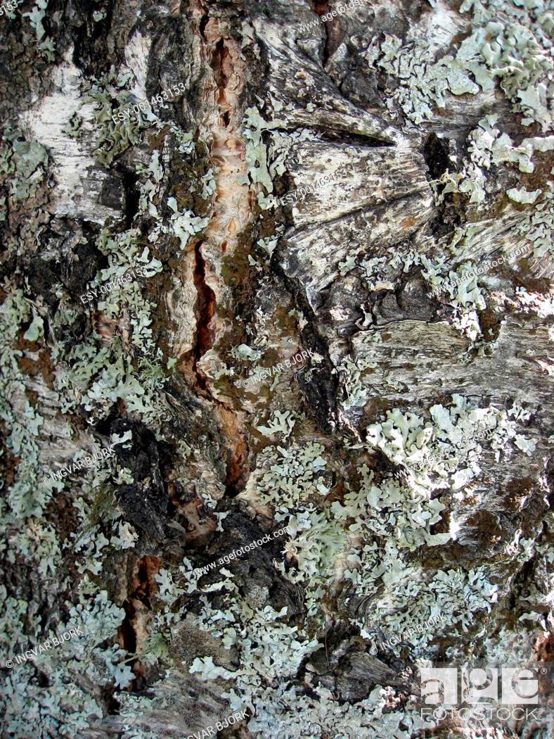 Stock Photo: Tree bark texture background.