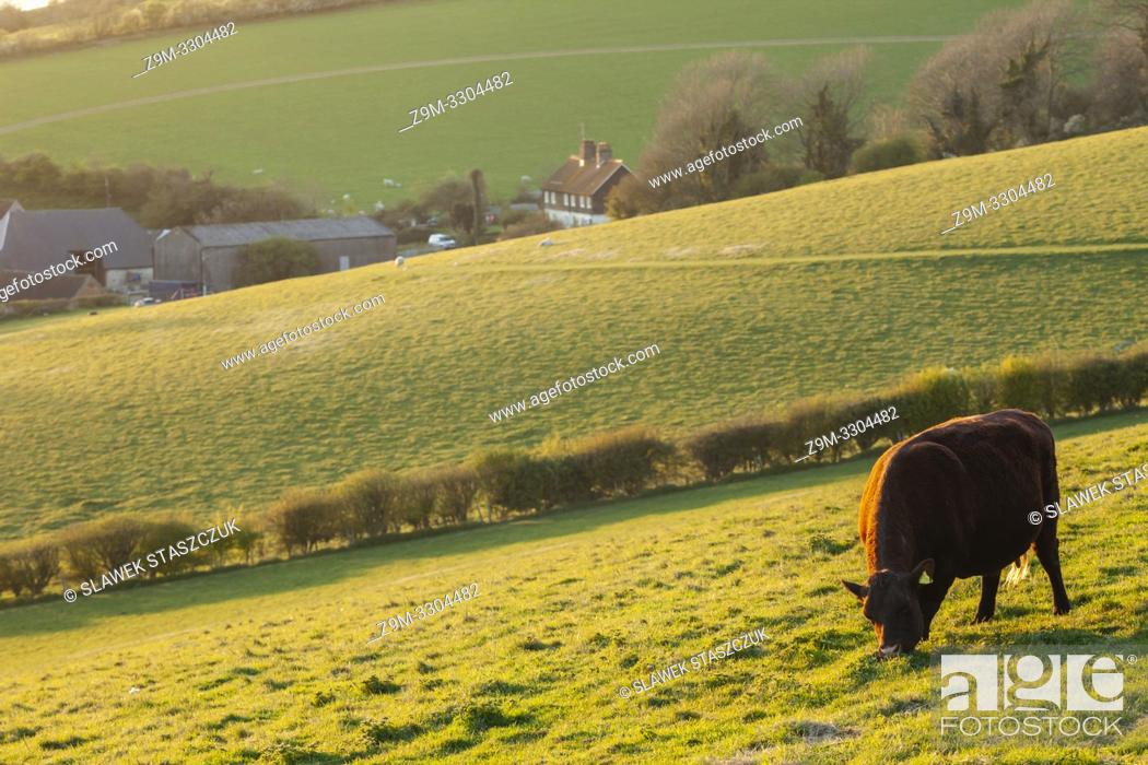 Stock Photo: Cow grazing in South Downs National Park, West Sussex, England.