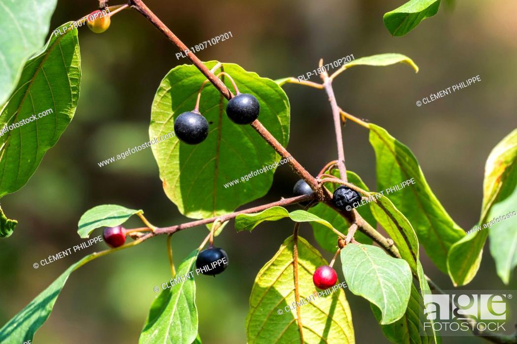 Imagen: Wild black cherry / rum cherry / mountain black cherry (Prunus serotina) close-up of leaves and ripe and unripe berries in summer.