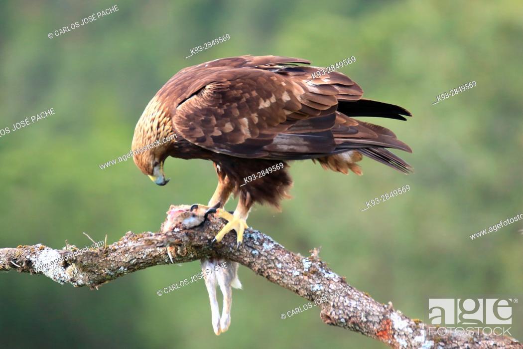 Stock Photo: Golden eagle (Aquila chrysaetos) with prey, Parque Nacional de Monfragüe, Extremadura, Spain.