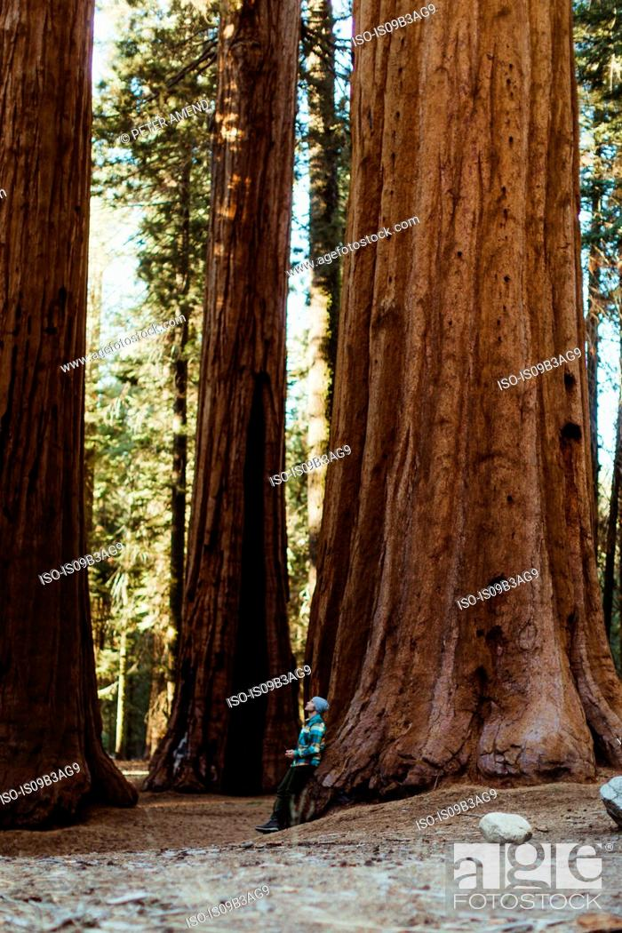 Stock Photo: Man leaning against sequoia tree, Sequoia national park, California, USA.