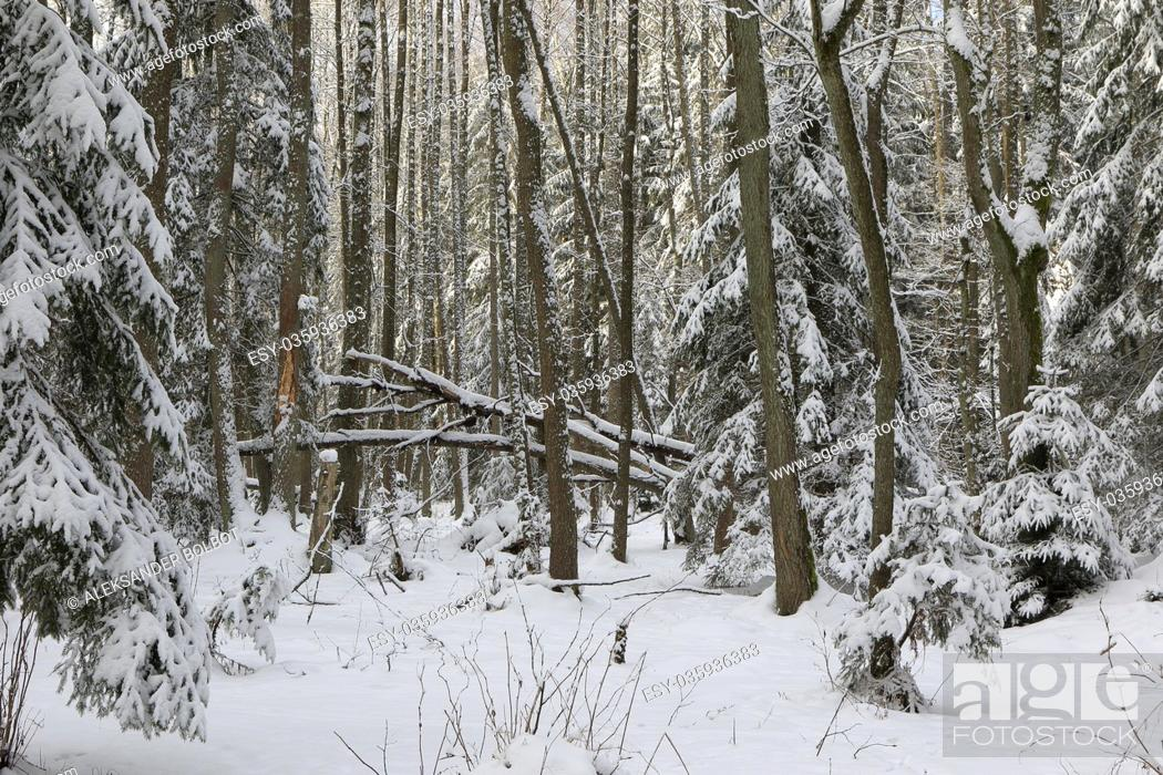 Stock Photo: Winter landscape of riparian stand in sunset light with young spruces snow wrapped, Bialowieza Forest, Poland, Europe.