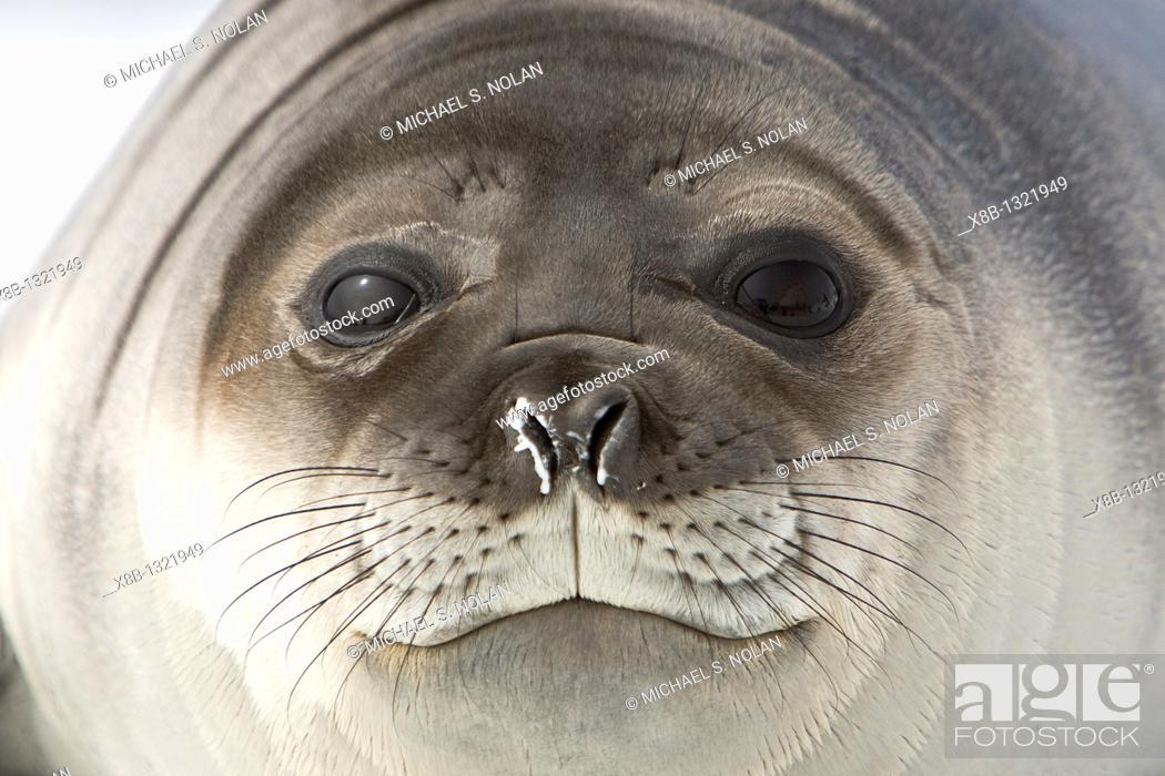 Stock Photo: Newborn southern elephant seal Mirounga leonina on the beach at President Head on Snow Island in the South Shetland Island Group.