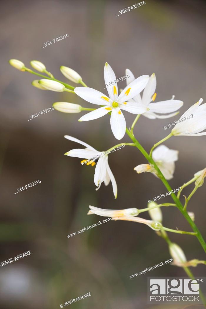 Imagen: Anthericum liliago.