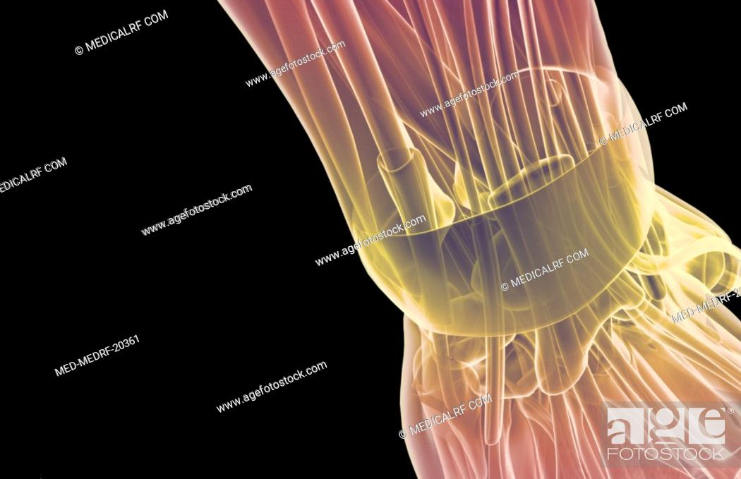 Stock Photo: The muscles of the wrist.