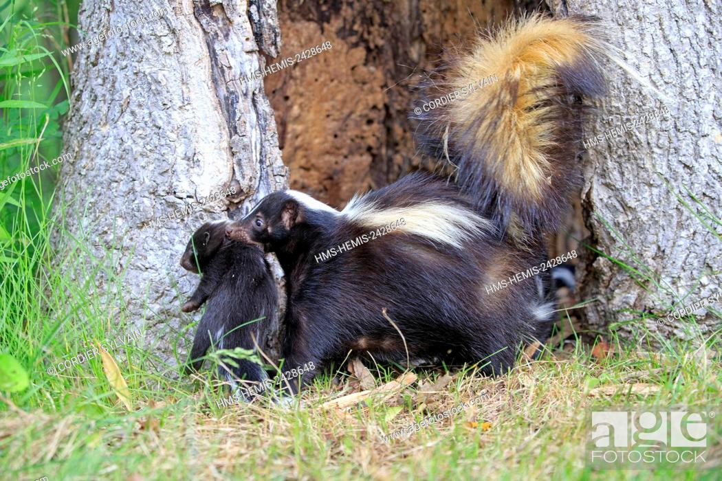 Stock Photo: United States, Minnesota, Striped Skunk (Mephitis mephitis), mother and babies, the mother carries a small holding him by the neck.