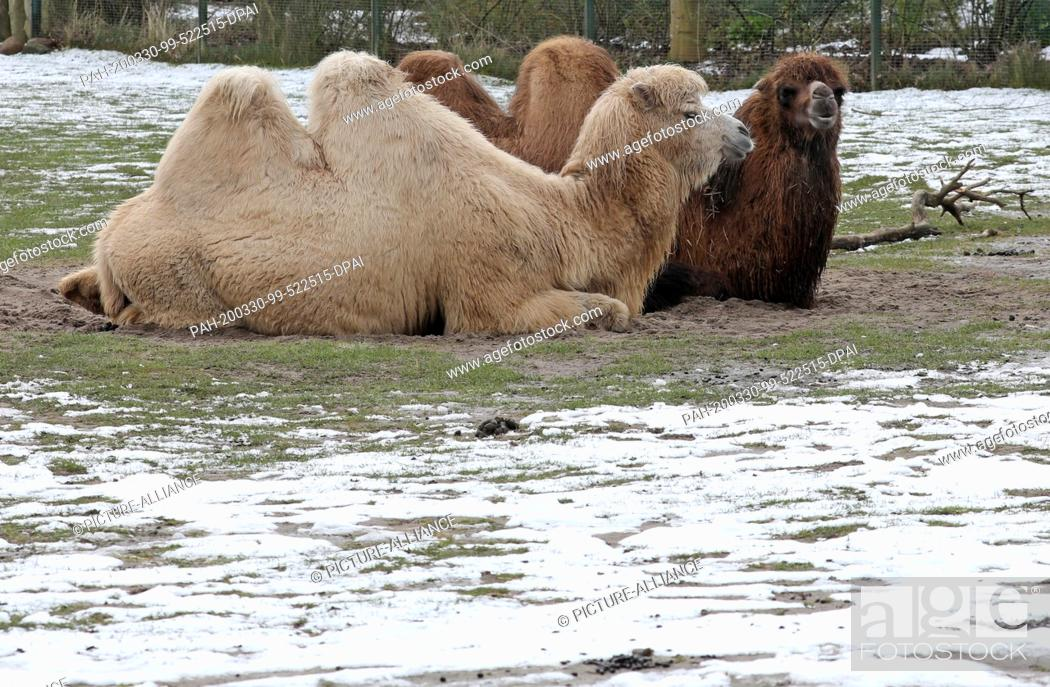 Stock Photo: 30 March 2020, Mecklenburg-Western Pomerania, Marlow: Wild camels lie in their enclosure in the bird park, with freshly fallen snow on the meadow.