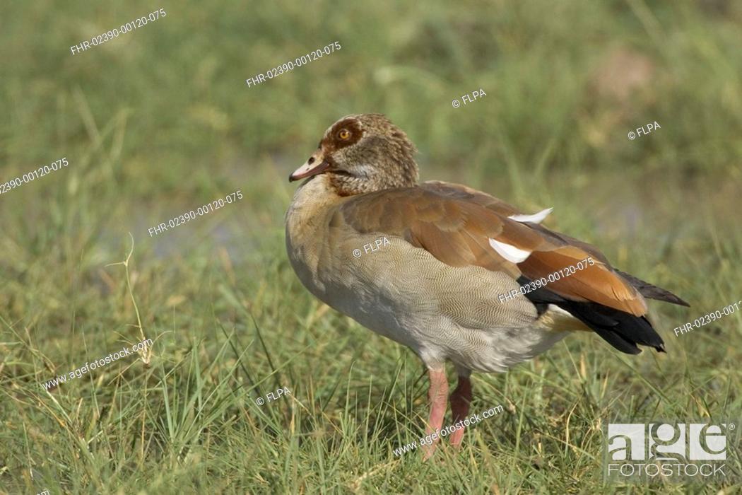 Stock Photo: Egyptian Goose, LAke Manyara National Park, Tanzan Alopochen aegyptiacus,.