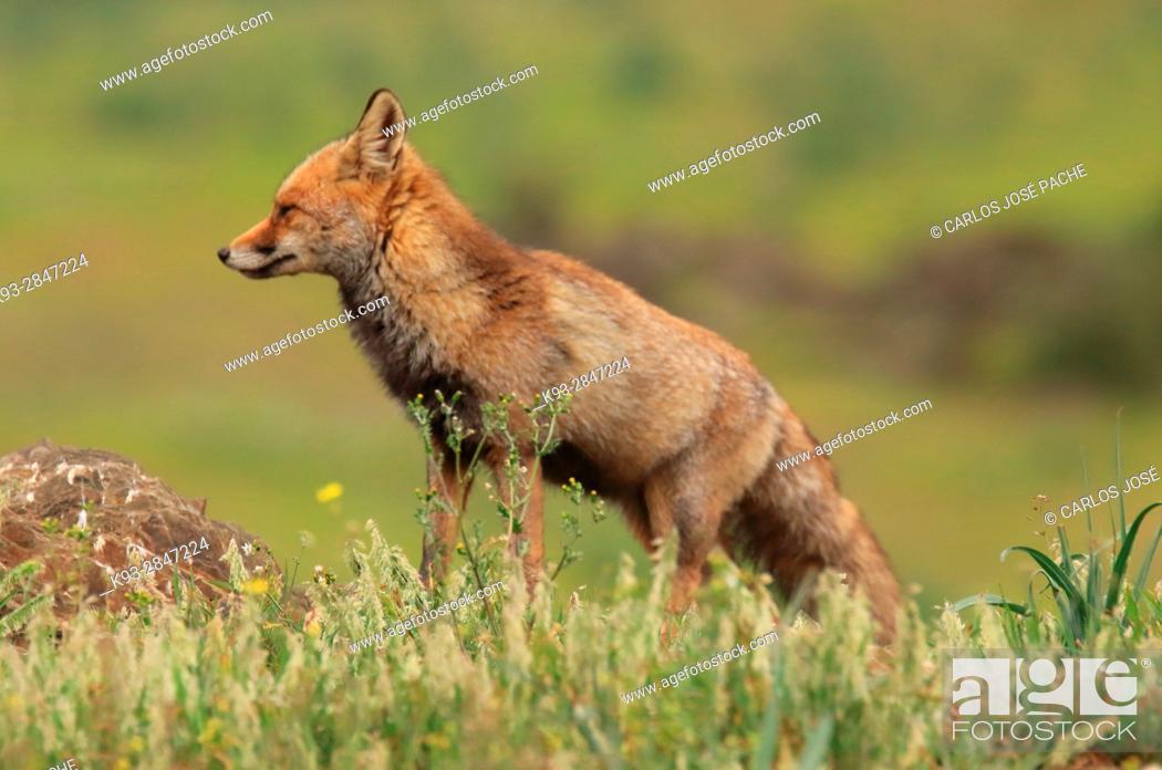Imagen: Red fox (Vulpes vulpes). Parque Nacional de Monfragüe, Caceres, Extremadura, Spain.