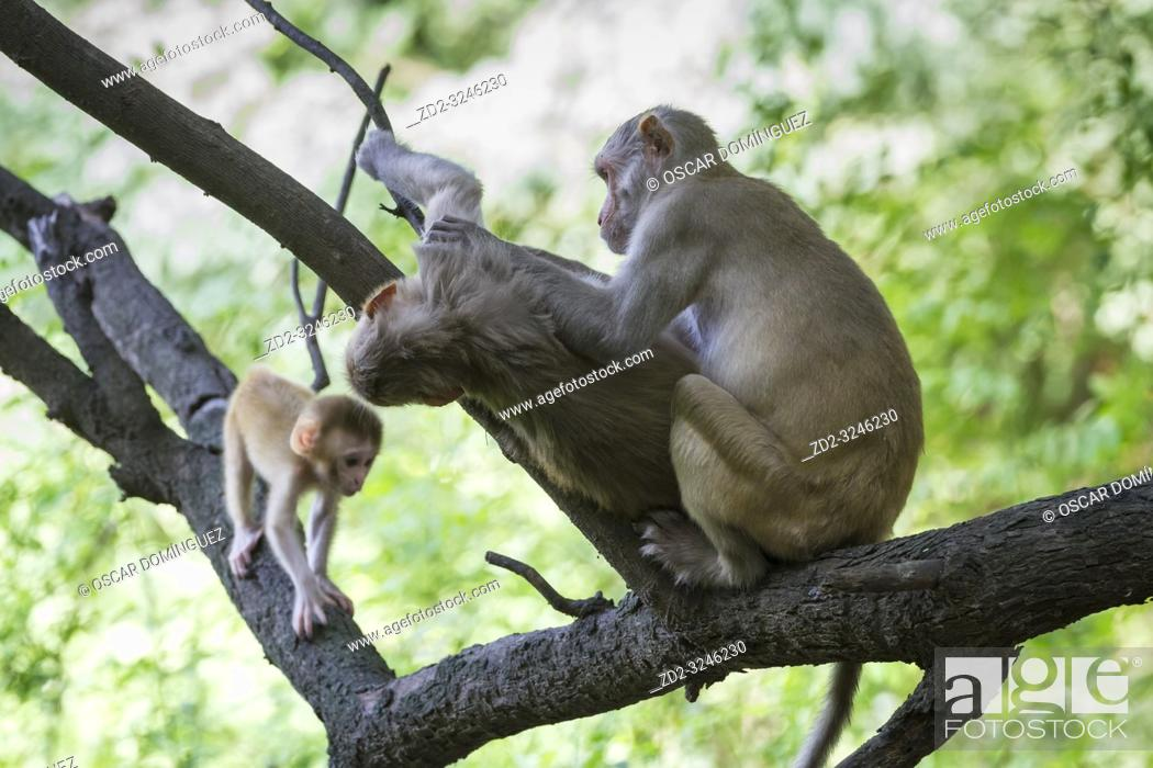 Stock Photo: Rhesus Monkey (Macaca mulatta), family group grooming. Keoladeo National Park. Bharatpur. Rajasthan. India.