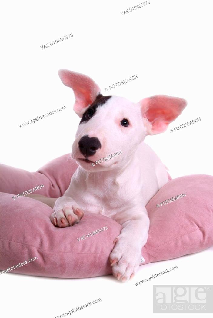 Stock Photo: pose, terrier, house pet, canines, domestic, bull terrier.