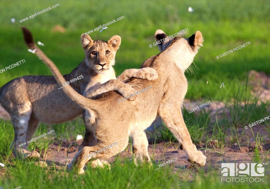 Stock Photo: African lion Panthera leo - Cubs, playing  Rainy season, Kgalagadi Transfrontier Park, Kalahari desert, South Africa.