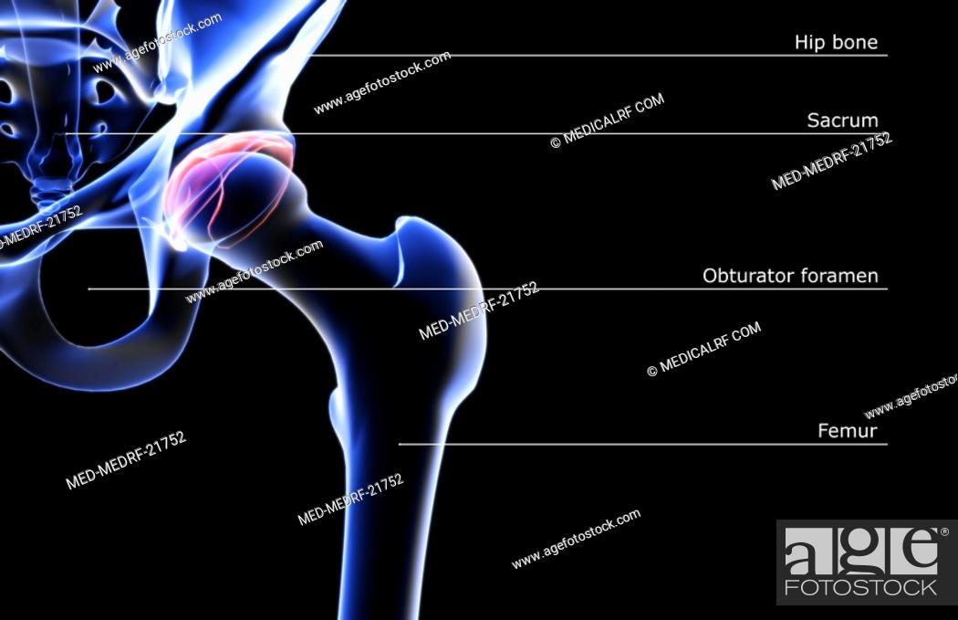 Stock Photo: The bones of the hip.