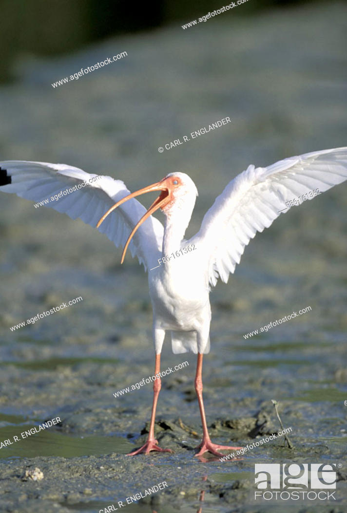 Stock Photo: White Ibis (Eudosimu albus) stretching wings on mud flats at low tide. Florida. USA.