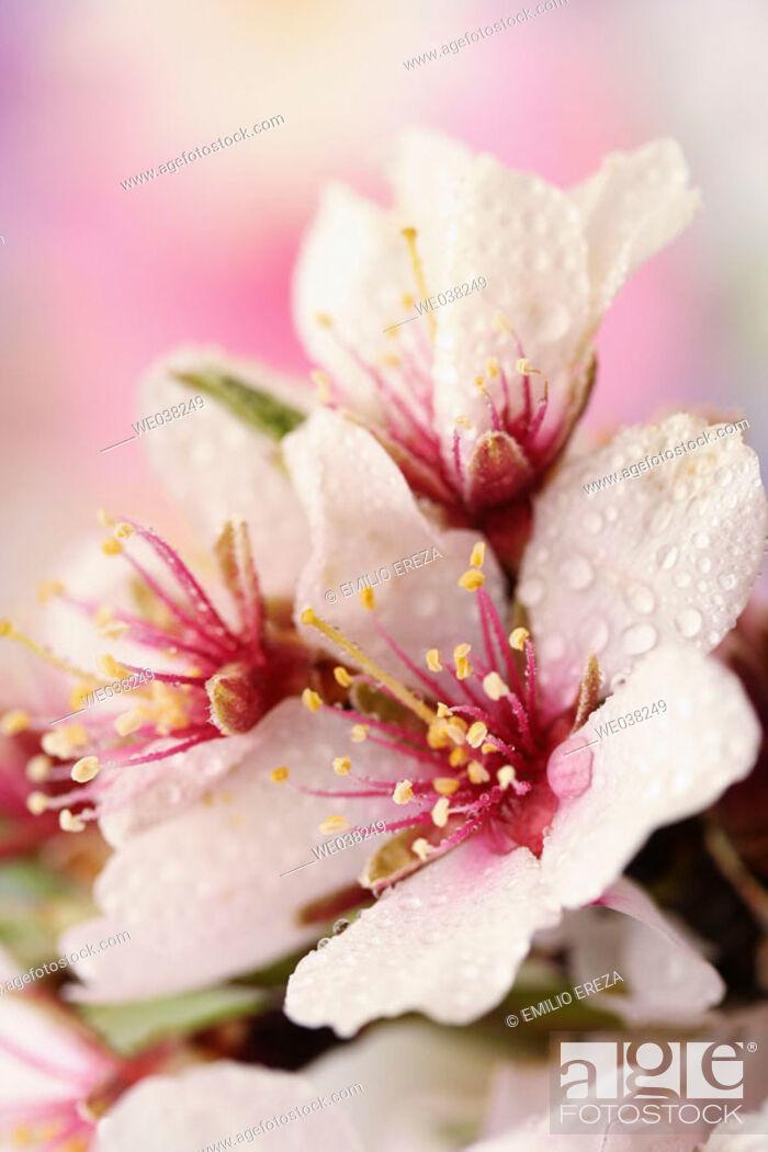 Stock Photo: Water drops on Almond tree (Prunus dulcis) flowers.