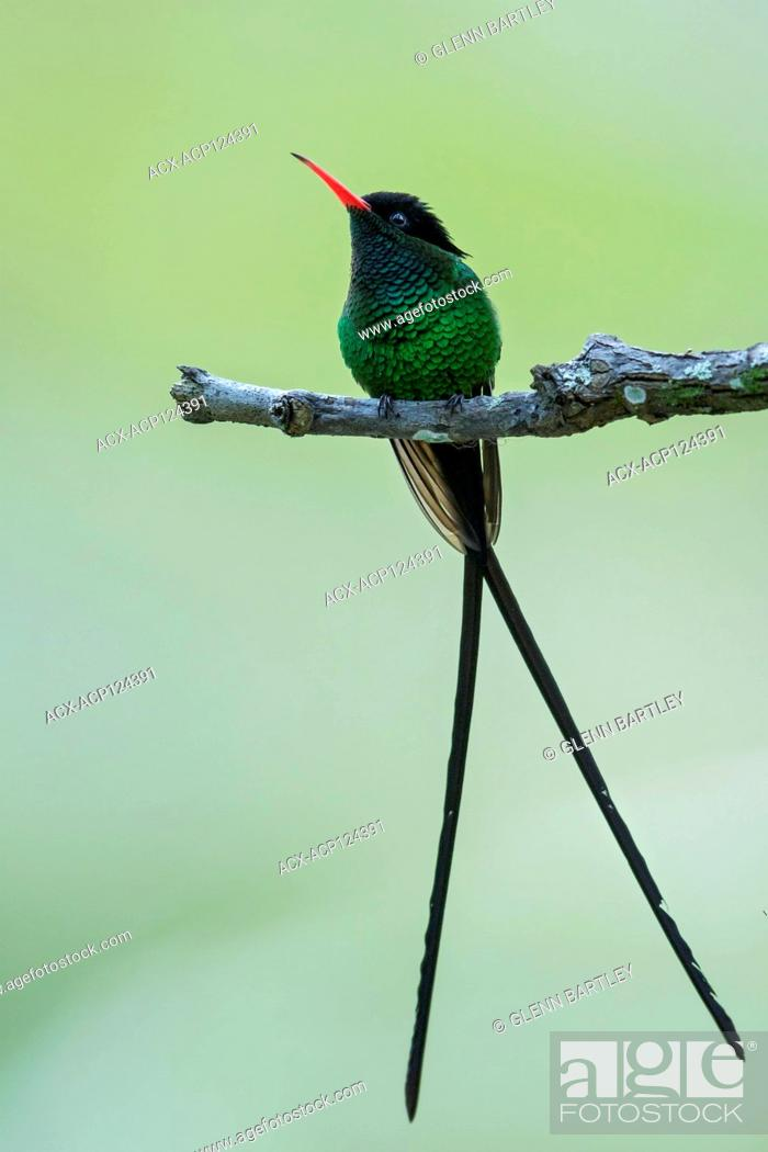 Imagen: Red-billed Streamertai (Trochilus polytmus polytmus) perched on a branch in Jamaica in the Caribbean.