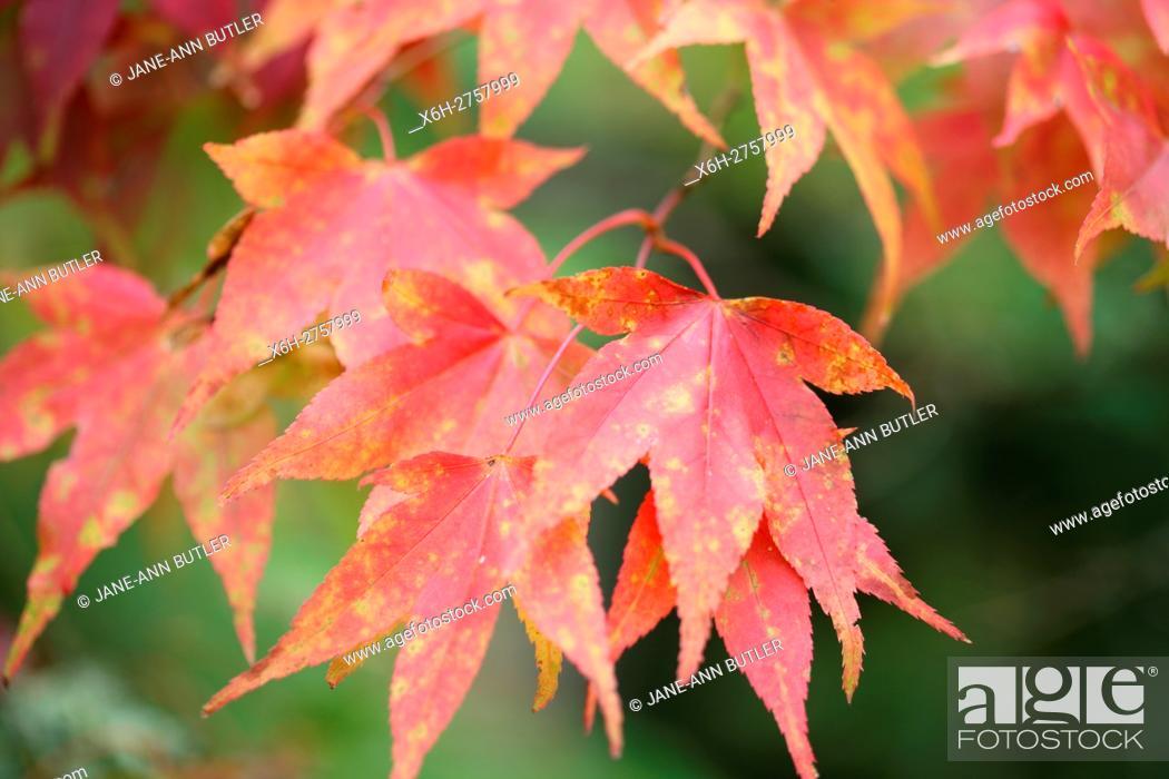 Stock Photo: acer palmatum amoenum autumn leaves in colour change.