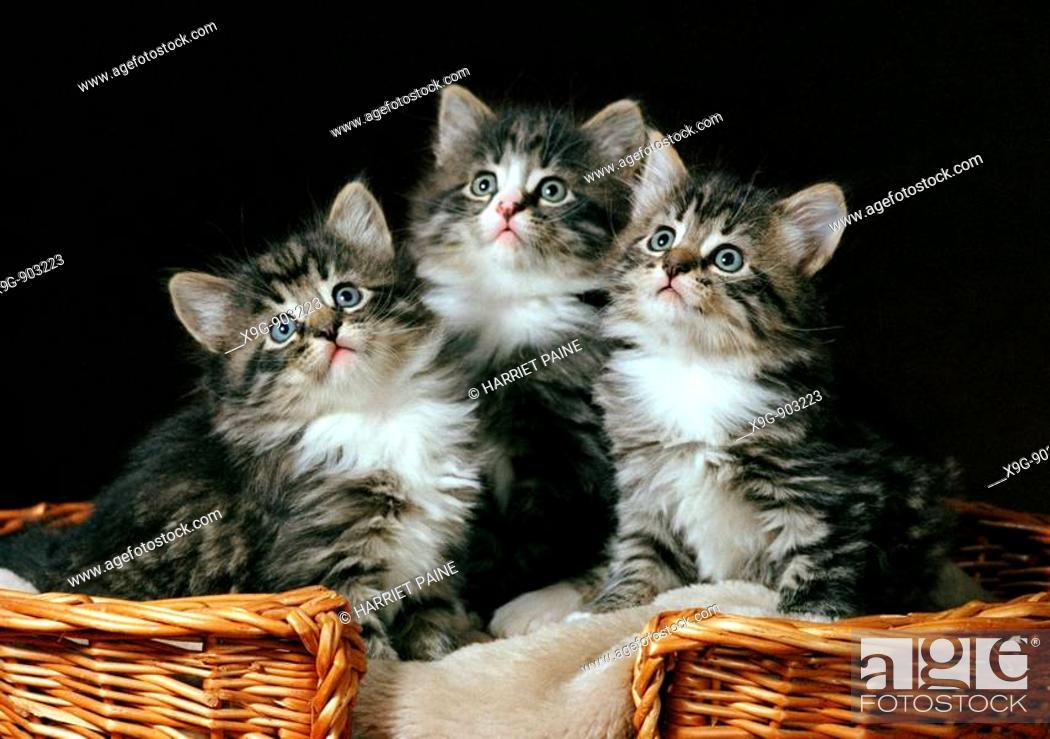 Stock Photo: Three kittens in a basket.