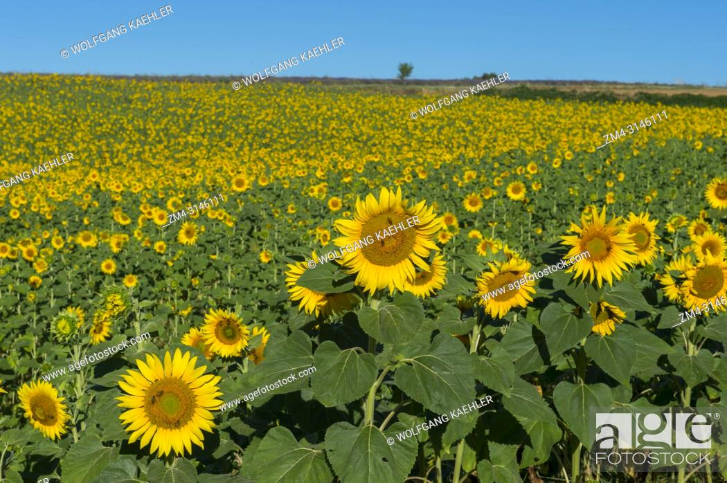 Stock Photo: A sunflower field on the Valensole plateau near Digne-les-Bains and the Verdon gorges in the Alpes-de-Haute-Provence region in southern France.