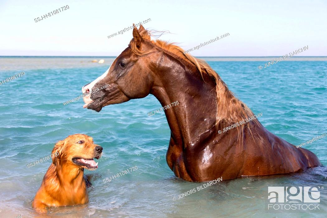 Arabian Horse Chestnut Stallion And Its Friend A Golden Retriever Sitting In The Sea Stock Photo Picture And Rights Managed Image Pic Ssj H 81081720 Agefotostock