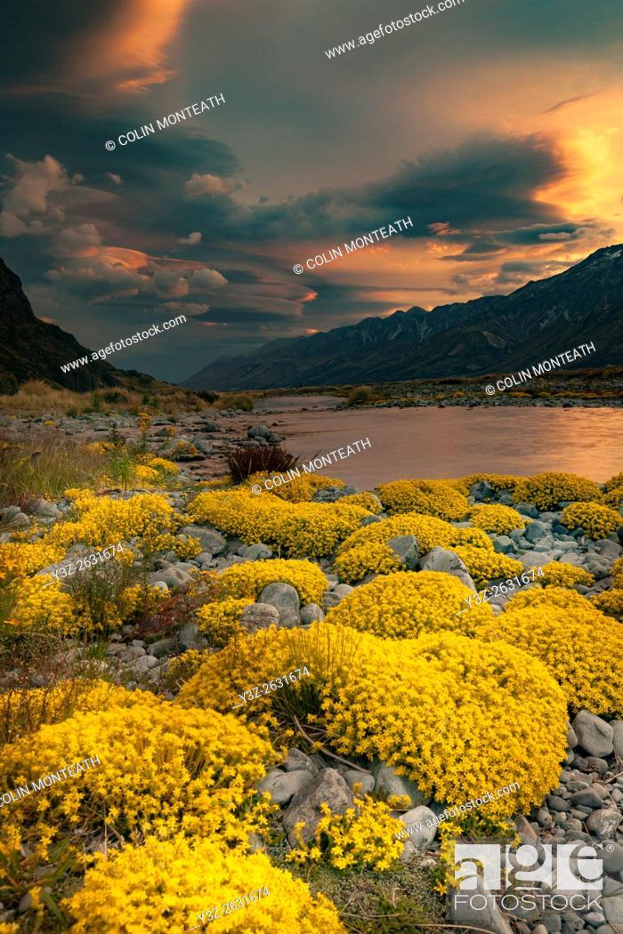 Imagen: Myosotis species, ( mouse ears) cushion plant, sunset in Tasman river valley, Aoraki / Mount Cook National Park.