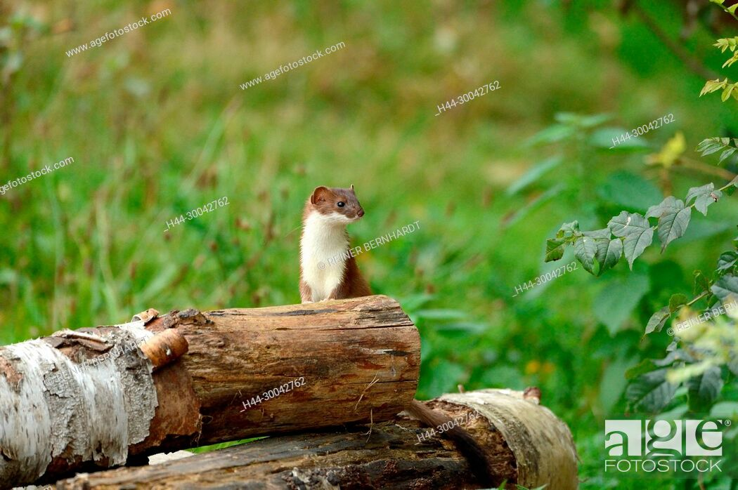 Stock Photo: Local predator, endemic animal, agile robber, big weasel, ermine on prey search in autumn, doggy, short tail weasels, martens, similar to marten.