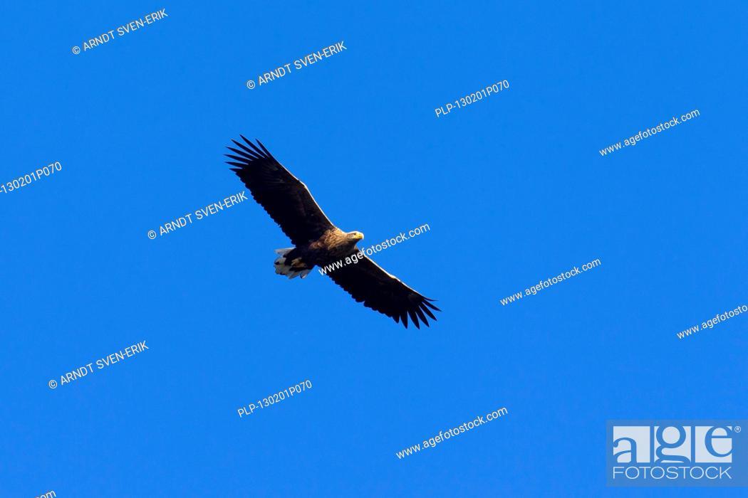 Stock Photo: White-tailed Eagle / Sea Eagle / Erne Haliaeetus albicilla in flight.