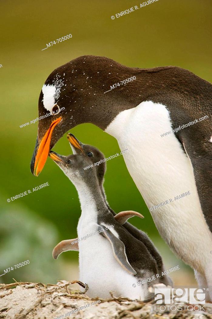 Stock Photo: Gentoo Penguin Pygoscelis papua papua with chick on nest at colony, Falkland Islands, South Atlantic Ocean.
