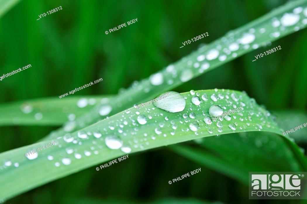 Stock Photo: France, raindrops on leaves.