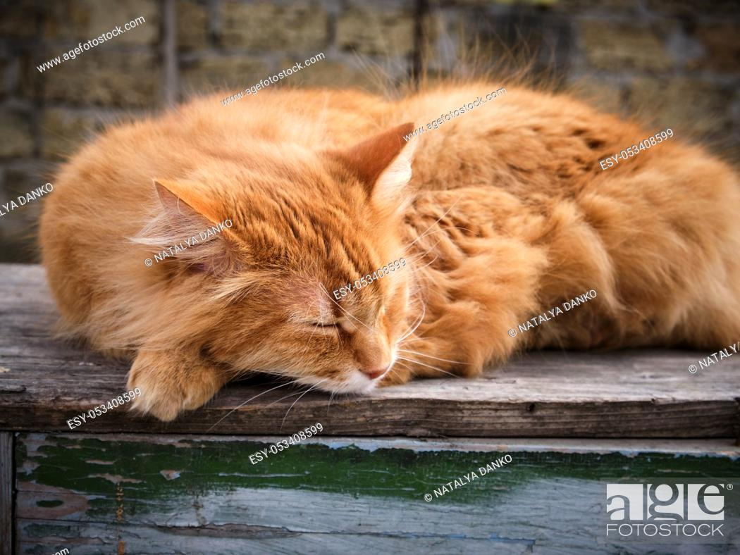 Stock Photo: adult red fluffy cat sleeps curled up in the street, close up.