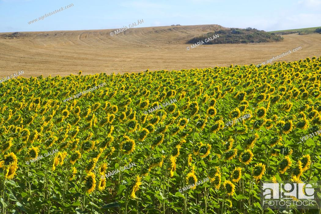 Stock Photo: Sunflowers field. Palencia province, Castilla Leon, Spain.