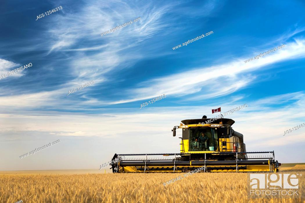Stock Photo: Combine harvesting a golden wheat field with blue sky and cloud; Beiseker, Alberta, Canada.