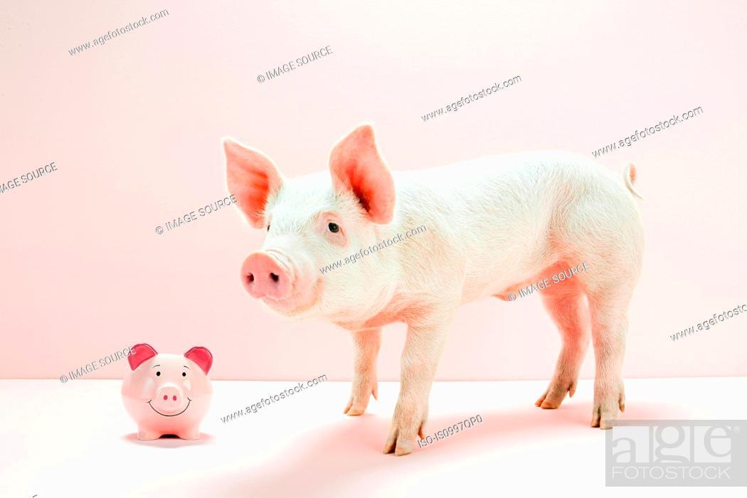 Stock Photo: Piglet with piggybank in studio.