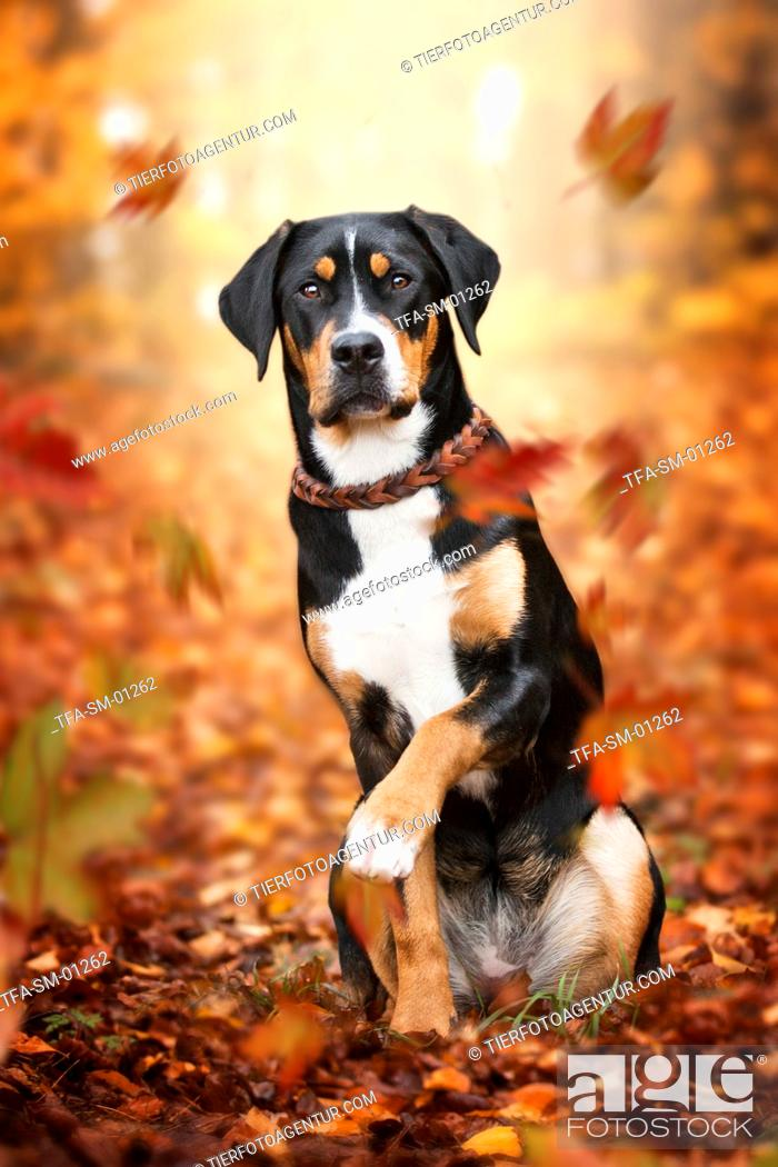 Stock Photo: young Greater Swiss Mountain Dog.