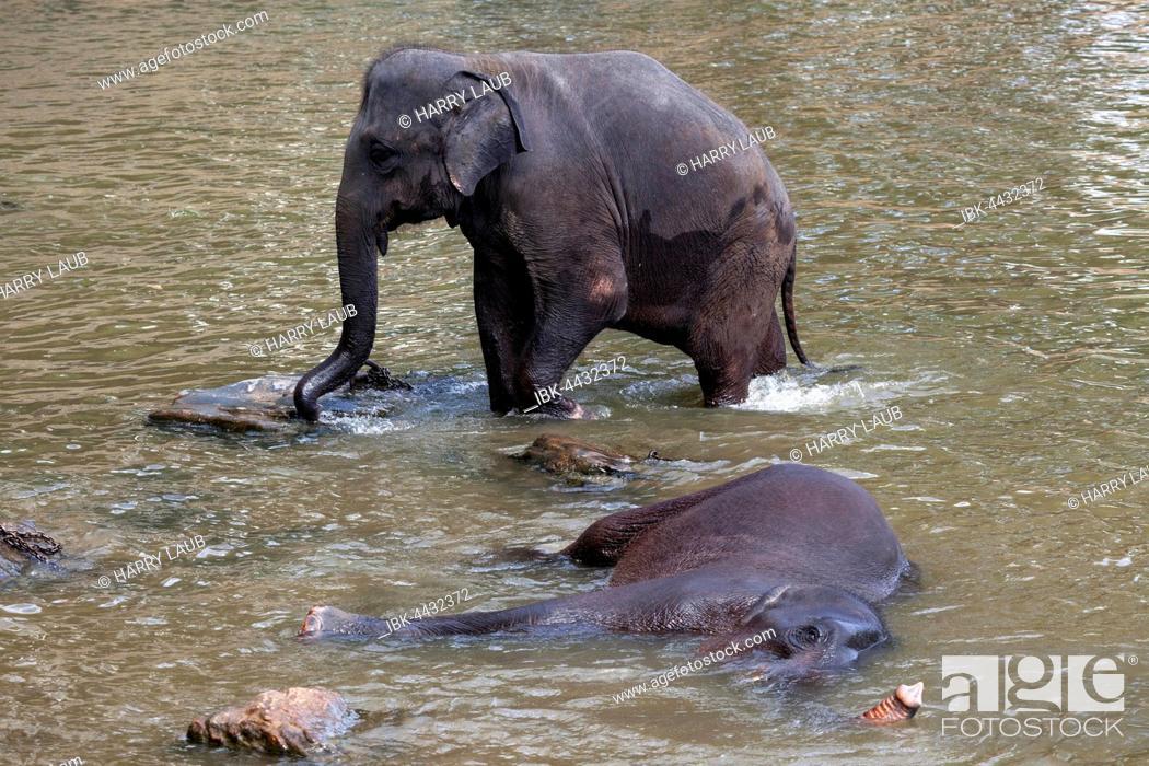 Stock Photo: Asian elephants (Elephas maximus), bathing in Maha Oya River, Pinnawala Elephant Orphanage, Central Province, Sri Lanka.