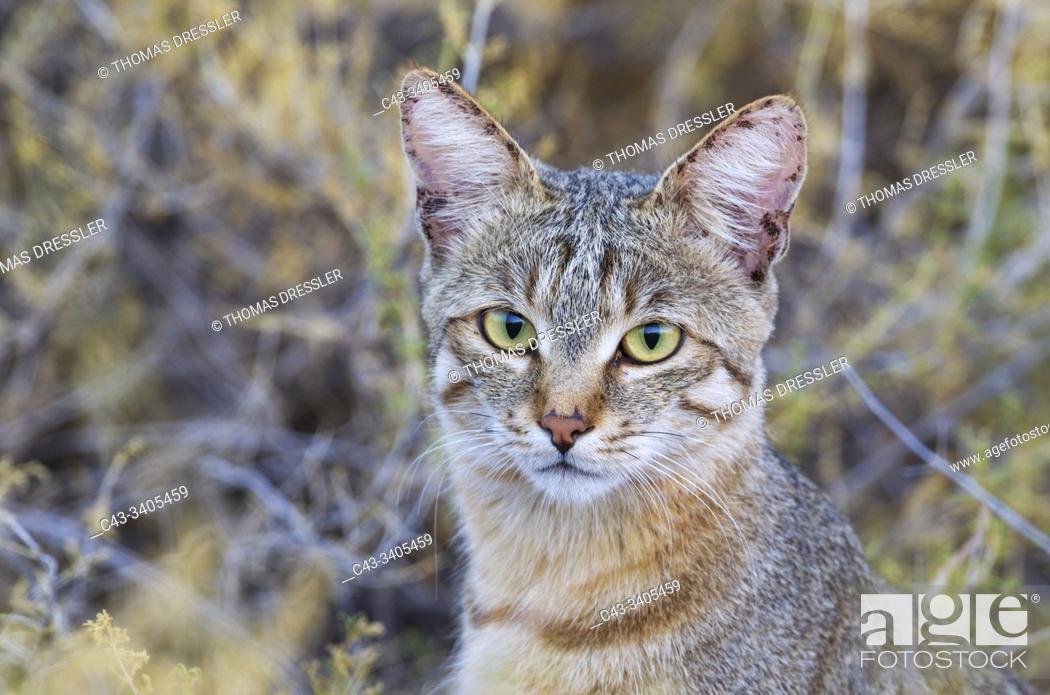 Imagen: African Wild Cat (Felis silvestris lybica). Kalahari Desert, Kgalagadi Transfrontier Park, South Africa.