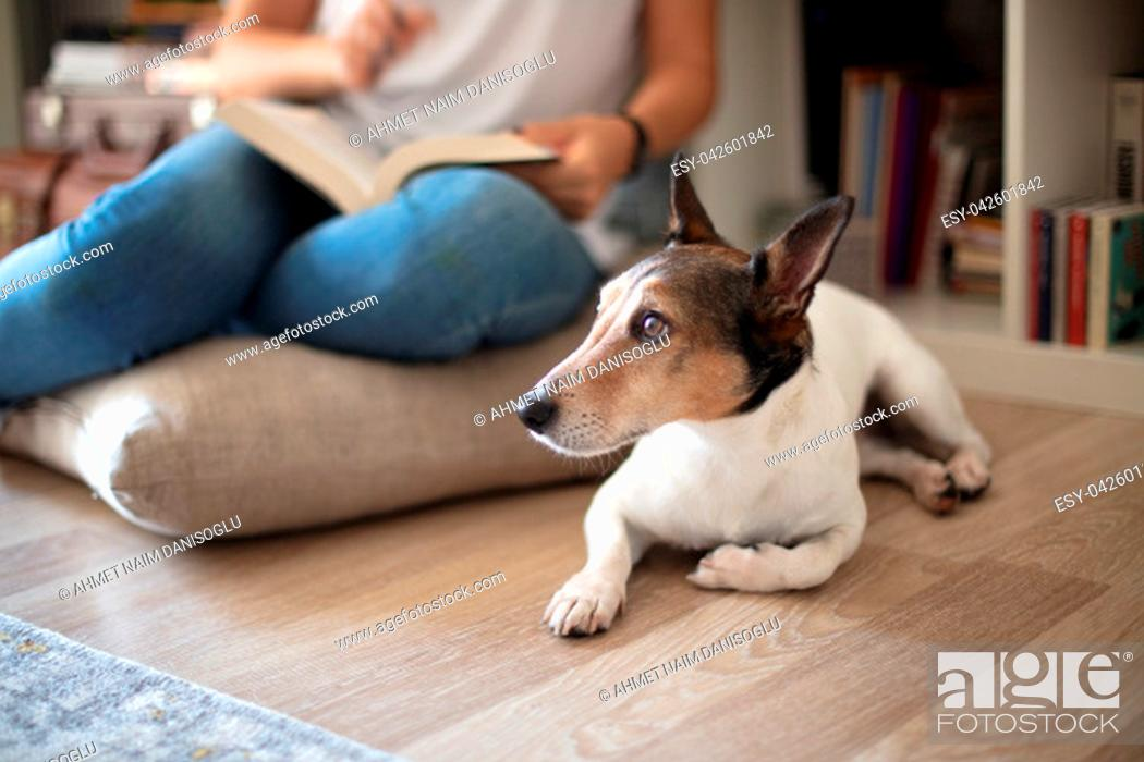 Stock Photo: Cute little Jack Russell lying floor in a living room while its owner sitting on a cushion.
