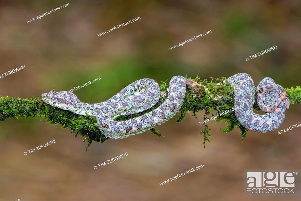 Stock Photo: Eyelash pit viper, Bothriechis schlegelii, Costa Rica.