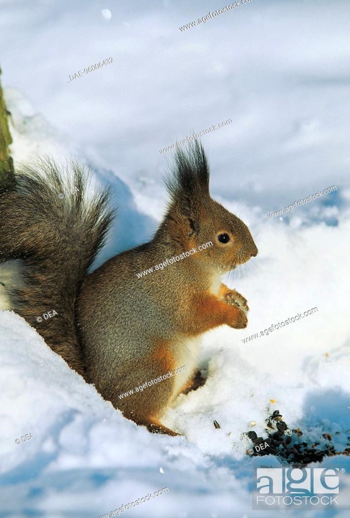 Stock Photo: Zoology - Mammals - Rodents - Squirrel (Scirus vulgaris) - Pushkin Tsarskoe Selo Park - St. Petersburg - Russia.