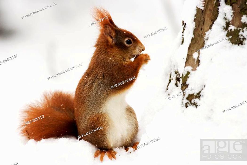 Stock Photo: Red Squirrel (Sciurus vulgaris) eats a nut in winter.