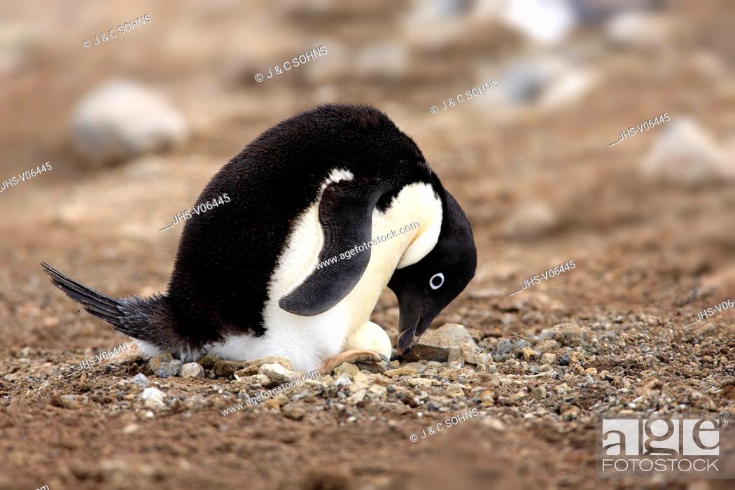 Stock Photo: Adelie Penguin, (Pygoscelis adeliae), Antarctica, Devil Island, adult at nest with egg.