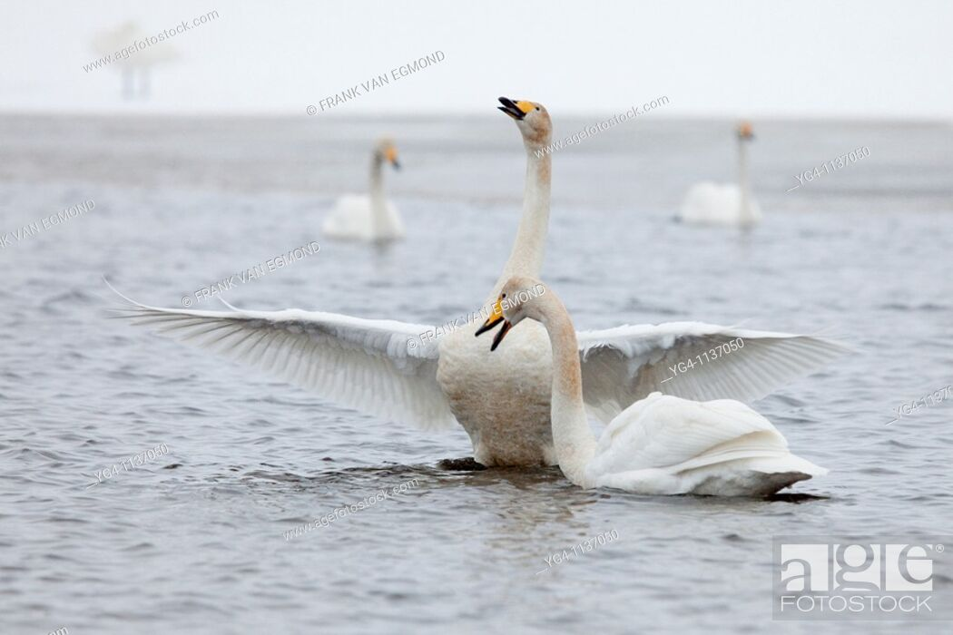 Stock Photo: Whooper swan speading its wings  Spring 2010  Kuusamo area, Finland.